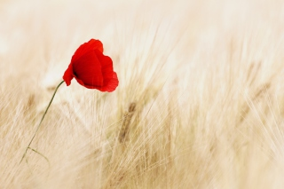 Free Pretty Single Poppy Picture for Android, iPhone and iPad
