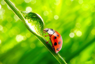 Ladybug Waterdrop Picture for Android, iPhone and iPad