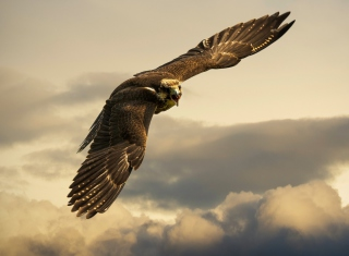 Free Falcon Picture for Android, iPhone and iPad