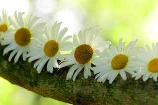 Daisies - Obrázkek zdarma pro 1200x1024