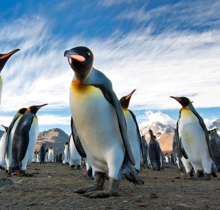 Curious Penguin - Obrázkek zdarma pro iPad