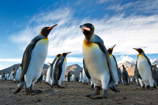Curious Penguin - Obrázkek zdarma pro Samsung Galaxy A3