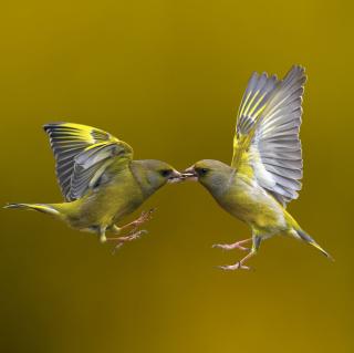 Birds Kissing - Obrázkek zdarma pro 208x208