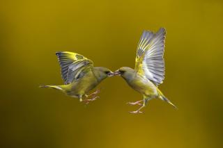 Birds Kissing - Obrázkek zdarma pro Widescreen Desktop PC 1600x900