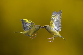Birds Kissing - Obrázkek zdarma pro Samsung Galaxy Tab 10.1