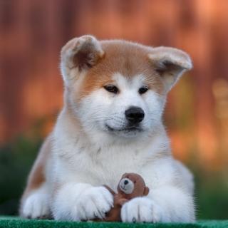 Akita Inu Puppy - Obrázkek zdarma pro iPad Air