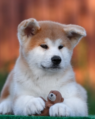 Akita Inu Puppy - Obrázkek zdarma pro iPhone 4S