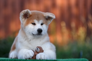 Akita Inu Puppy sfondi gratuiti per cellulari Android, iPhone, iPad e desktop