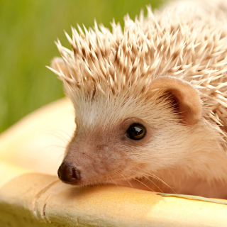 European hedgehog - Obrázkek zdarma pro 128x128