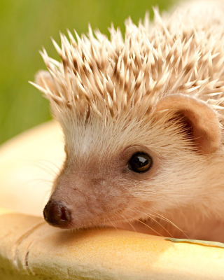 European hedgehog - Obrázkek zdarma pro Nokia Asha 303