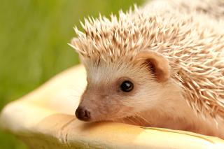 European hedgehog - Obrázkek zdarma pro Samsung Galaxy Tab S 8.4