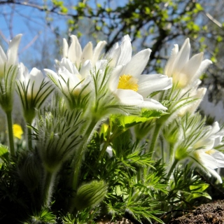 Anemone Flowers in Spring - Obrázkek zdarma pro 1024x1024