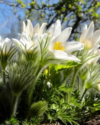 Anemone Flowers in Spring - Obrázkek zdarma pro Nokia C6