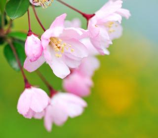 Soft Pink Cherry Flower Blossom - Obrázkek zdarma pro iPad Air