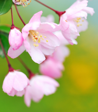 Soft Pink Cherry Flower Blossom - Obrázkek zdarma pro iPhone 5S