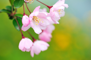 Soft Pink Cherry Flower Blossom - Obrázkek zdarma pro Motorola DROID 2