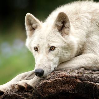 Arctic wolf - Obrázkek zdarma pro iPad Air