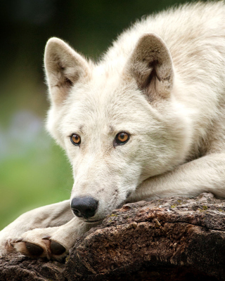Arctic wolf - Obrázkek zdarma pro Nokia Asha 502