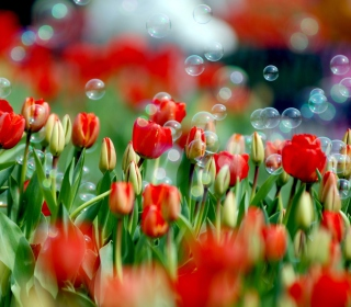 Tulips And Bubbles - Obrázkek zdarma pro 128x128