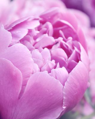 Purple Peonies - Obrázkek zdarma pro 768x1280