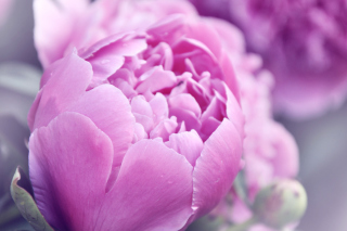 Purple Peonies Picture for Android, iPhone and iPad