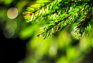 Close-Up Spruce Tree Branch Wallpaper for Android, iPhone and iPad