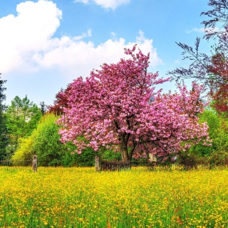Flowering Cherry Tree in Spring - Obrázkek zdarma pro 1024x1024