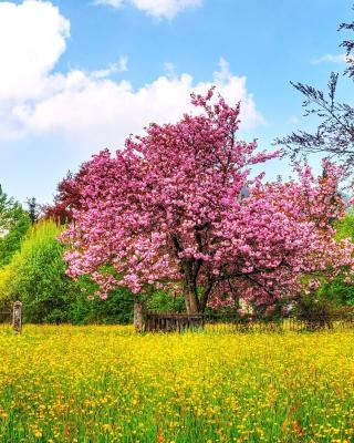 Flowering Cherry Tree in Spring - Obrázkek zdarma pro Nokia X7