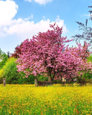 Flowering Cherry Tree in Spring - Obrázkek zdarma pro Nokia Asha 501