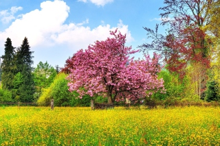 Flowering Cherry Tree in Spring - Obrázkek zdarma pro Widescreen Desktop PC 1680x1050