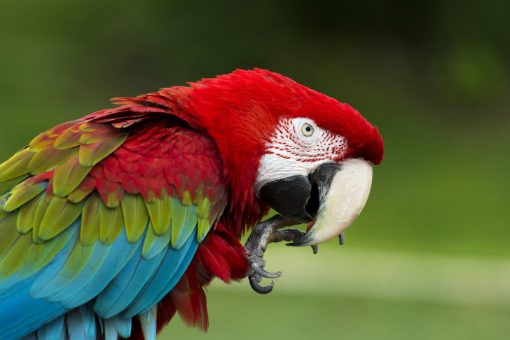 Green winged macaw wallpaper