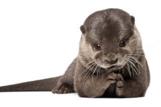 Free Otter Picture for Android, iPhone and iPad