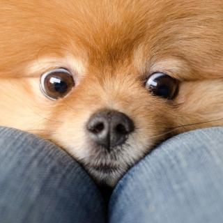 Funny Ginger Dog Eyes - Obrázkek zdarma pro 1024x1024
