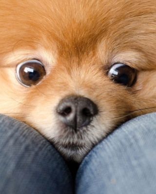 Funny Ginger Dog Eyes - Obrázkek zdarma pro iPhone 4