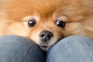 Funny Ginger Dog Eyes - Obrázkek zdarma pro HTC Wildfire