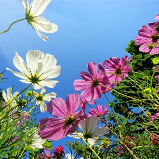 Cosmos flowering plants - Obrázkek zdarma pro 320x320