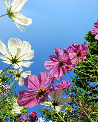 Cosmos flowering plants - Obrázkek zdarma pro iPhone 4S