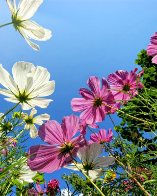 Cosmos flowering plants - Obrázkek zdarma pro Nokia Lumia 1020