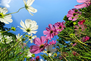 Cosmos flowering plants Wallpaper for Android, iPhone and iPad