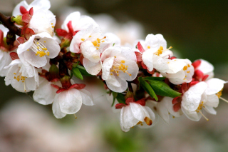 Free White spring blossoms Picture for Android, iPhone and iPad