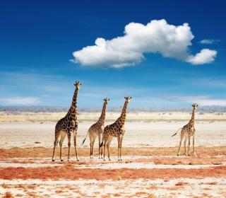 African Giraffes - Obrázkek zdarma pro 320x320
