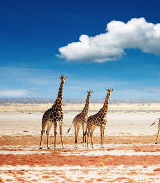 African Giraffes - Obrázkek zdarma pro 132x176