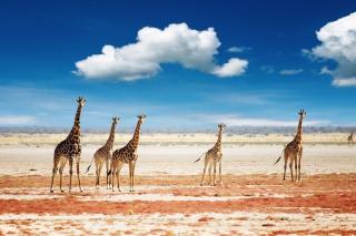 African Giraffes - Obrázkek zdarma pro Desktop Netbook 1366x768 HD