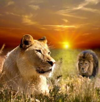 Lions In Kruger National Park - Obrázkek zdarma pro 1024x1024