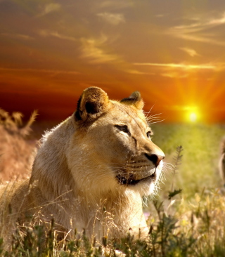 Lions In Kruger National Park - Obrázkek zdarma pro Nokia Lumia 520