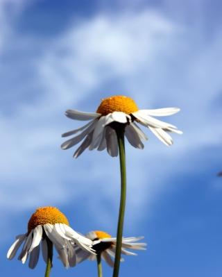Chamomile And Blue Sky - Obrázkek zdarma pro 640x1136