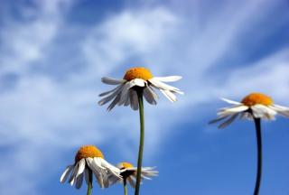 Chamomile And Blue Sky - Obrázkek zdarma pro 720x320