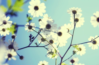 White Flowers Background for Android, iPhone and iPad