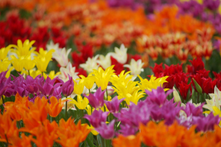 Dreamscape Tulip Field in May Background for Android, iPhone and iPad
