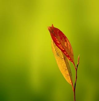 Leaf - Obrázkek zdarma pro 2048x2048